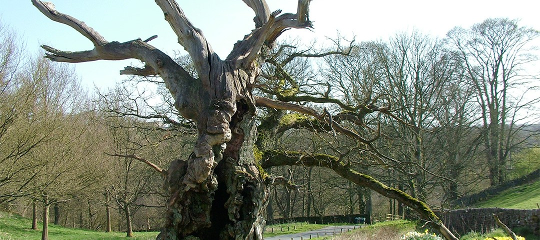 The Laund Oak Tree