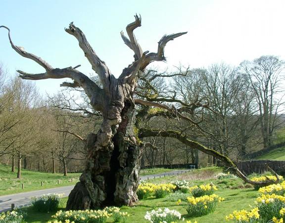 The Laund Oak Tree